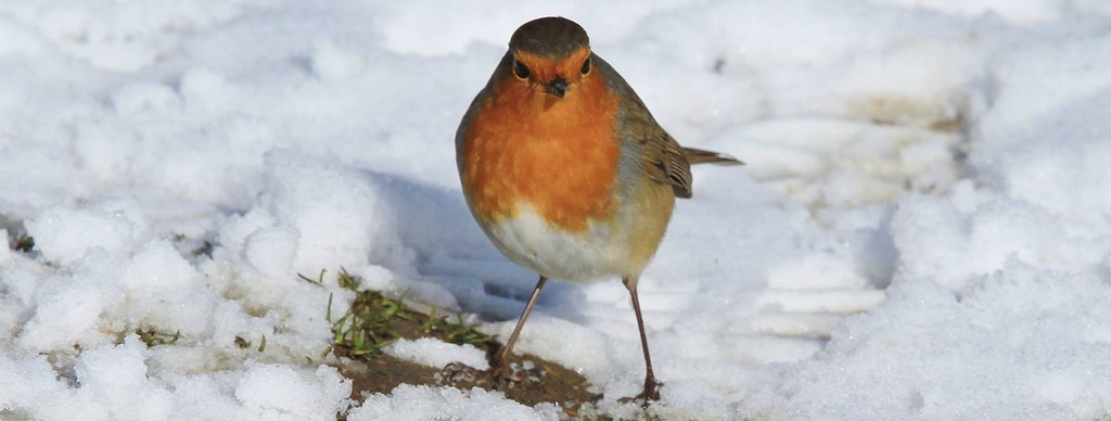 Robin standing on snow